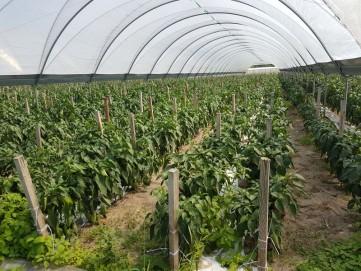 papryka uprawa w tunelu Ewa Bis